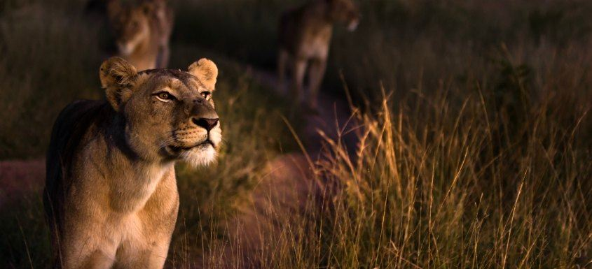 Kruger National Park Safaris - lion at night