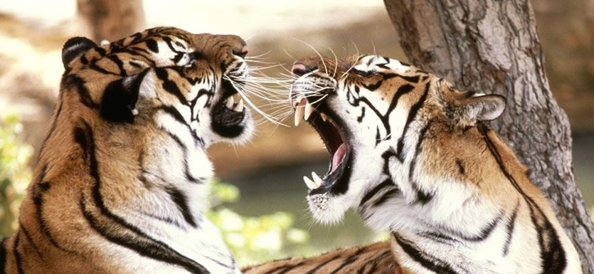 India Safari Holidays India Tiger Safari India Tigers Ranthambhore Bandhavgarh