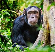 Gorilla Trekking Safari Holiday Uganda Track Chimps  Murchison Vacation