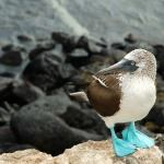 Ecuador & Peru Highlights - Blue footed boobie