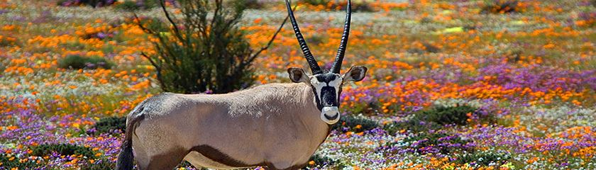 South Africa Wildflower Tours Namaqualand Kirstenbosch Gardens Cape Town