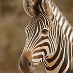 Escorted Safari Tour Kruger Park Swaziland Durban South Africa Photo