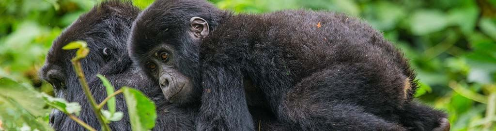 Uganda Gorilla Trekking Safari Holidays and Primate Tours Chimpanzees