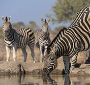 Zebra Migration Makgadikgadi Pans Meerkats Botswana Safari Sleep Out