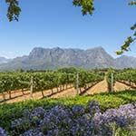 Cape Town Self Drive Holiday Penguins Whales Wildflowers Winelands
