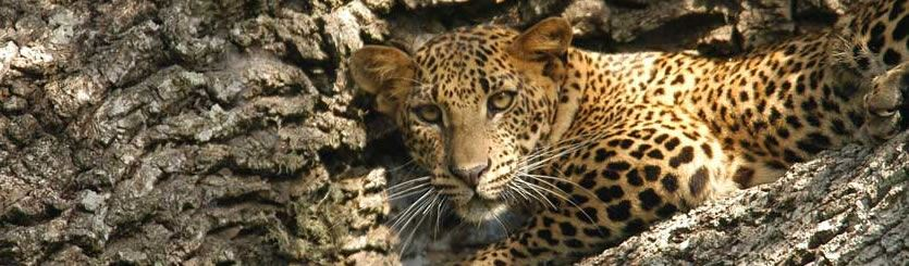 Sri Lanka Holidays Safari Cultural Wildlife Tours Leopards Yala Whales