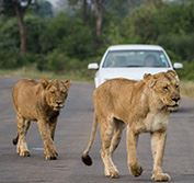 Kruger National Park Self Drive Safari South Africa Skukuza Satara Car