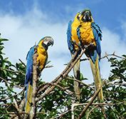 Bird Watching Holiday Brazil Birding Pantanal Chapada Cerrado Vacation