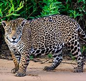 Wildlife Holiday Brazil Jaguars Pantanal Amazon Birding Meeting of Waters