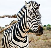 Escorted Safari Tour South Africa Kruger Park Swaziland Zulu Durban