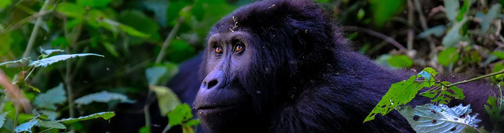 Gorilla Trekking Rwanda Safari Holidays Tours Volcanoes National Park