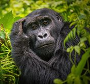 Escorted Small Group Gorilla Tour Uganda Bwindi Chimp Trekking Safari
