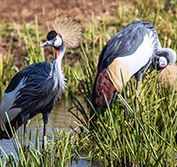 Bird Watching Holiday Uganda Birding Vacation Shoebill Kibale Bwindi