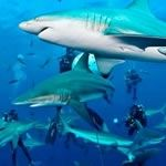 Shark Diving Aliwal Shoal Protea Banks Sardine Run South Africa