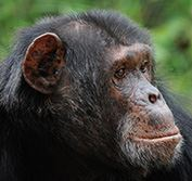 Tanzania Safari Holiday Chimp Tracking Gombe Chimpanzees Serengeti